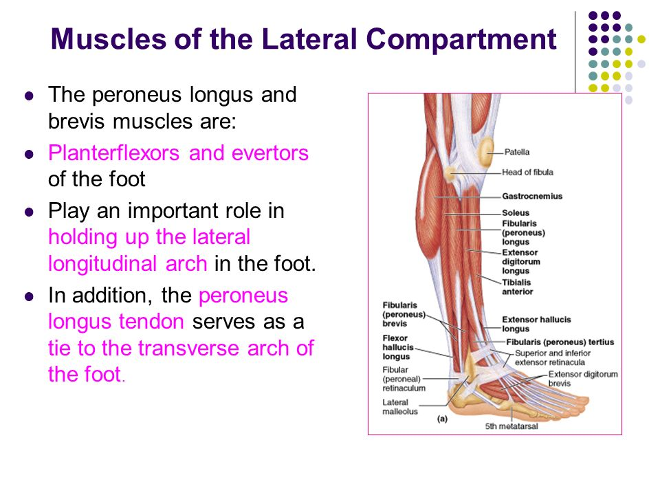 lateral compartment of leg - photo #47
