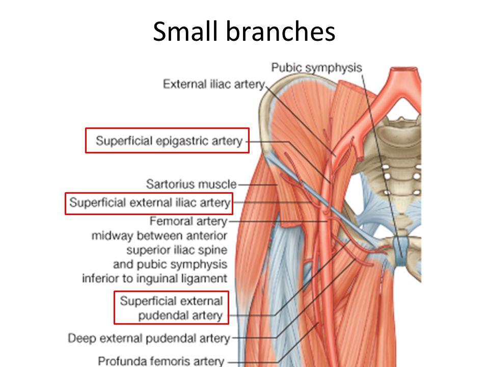 Internal Pudendal Artery Model 79947 Loadtve