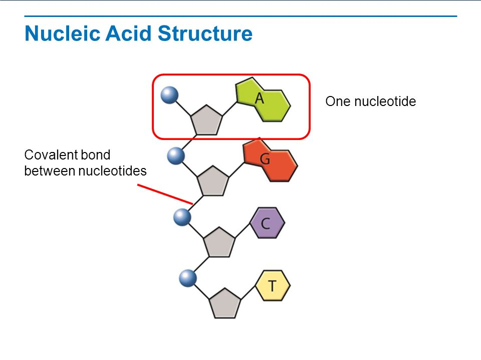 Nucleic Acid Structure Dna The Structure of DNA R...