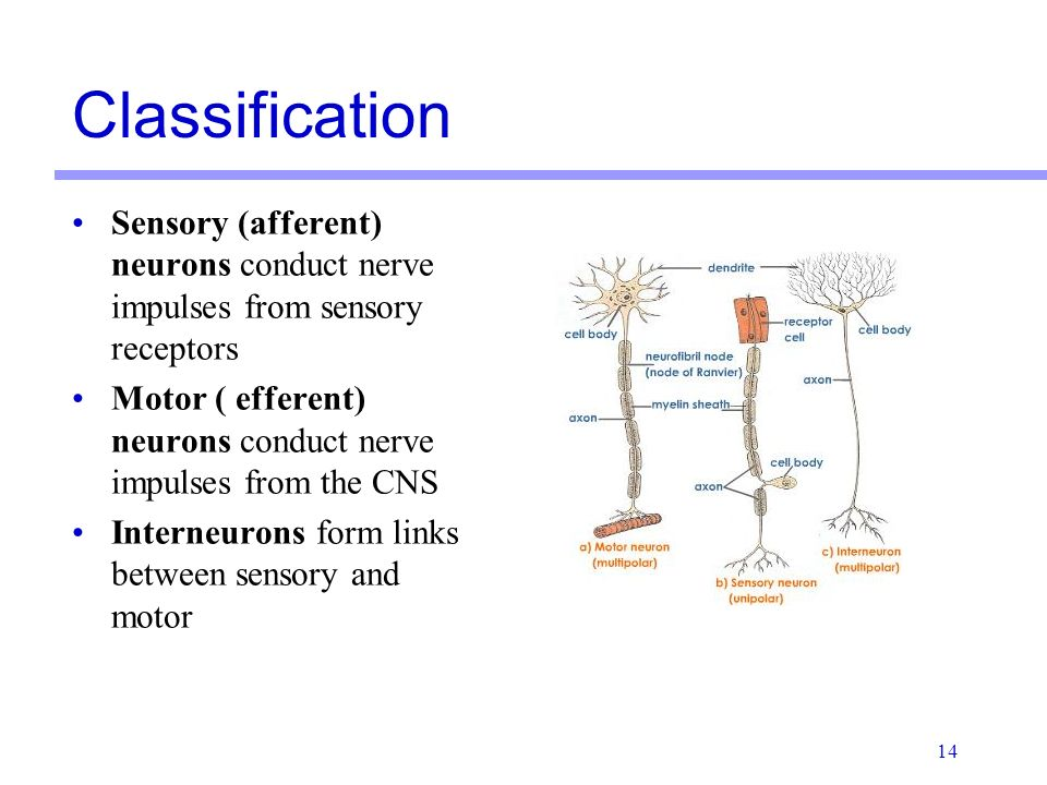 Histology of Nervous Tissue - ppt video online download