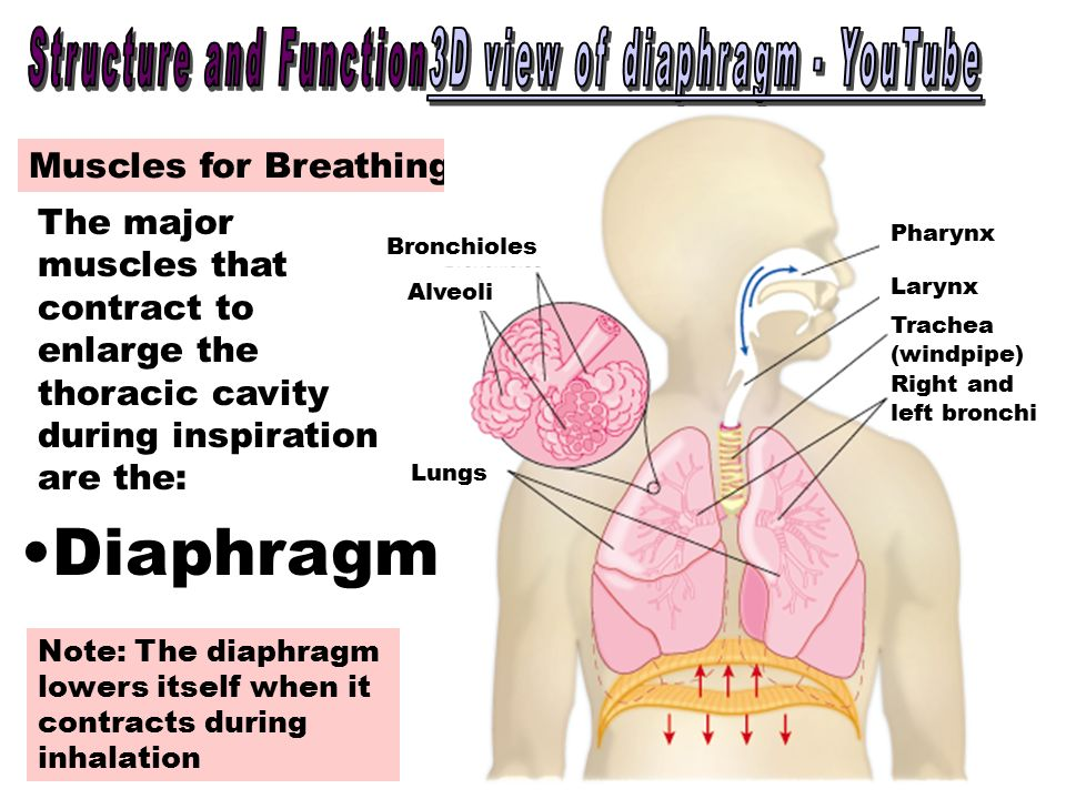 bellringer structures of the respiratory system and explain the, Human body