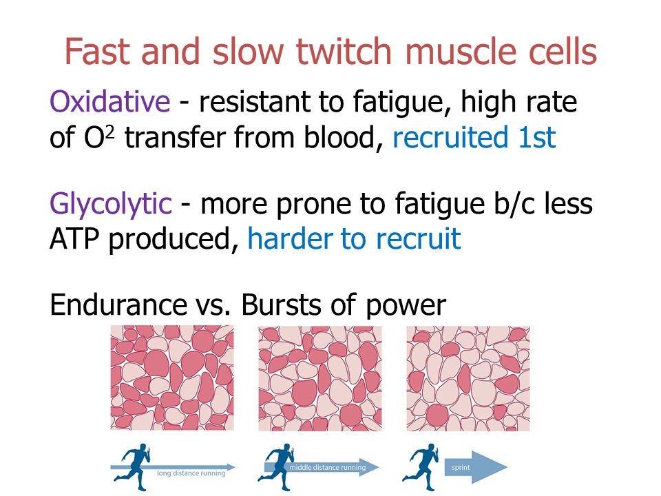 29 when a skeletal muscle fatigues what happens to the contractile force over time When a skeletal muscle fatigues what happens to the contractile force over time  what are the differences between cardiac (heart) and skeletal muscle contractile tissue: more questions mechanistically, what happens to the skeletal muscle at the highest preload forces.