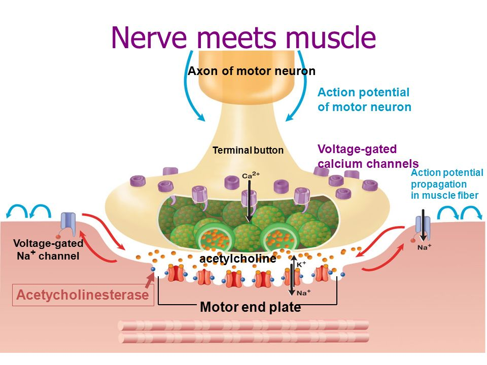 What Neurotransmitter Stimulates Skeletal Muscle Contraction Socratic
