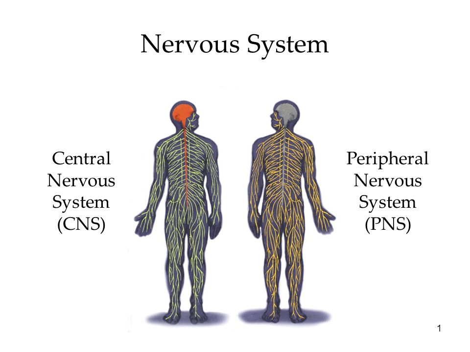 Nervous System Central Nervous System Cns Peripheral Nervous