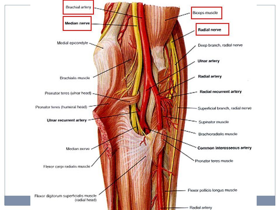 Median Nerve Brachial Artery Anatomy Picsbud
