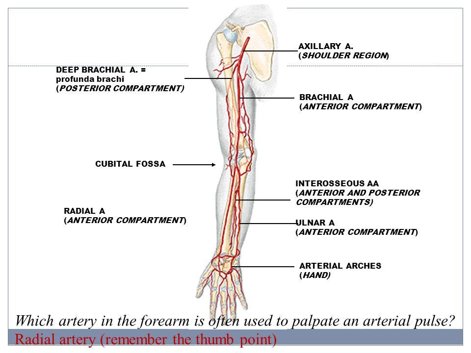 Upper Limb, part II Cubital fossa, Forearm, and Hand - ppt ... Brachial Region