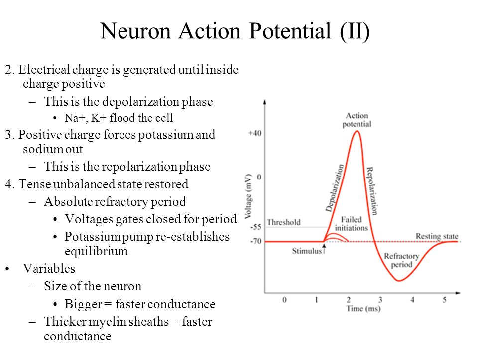 resting potential of a neuron