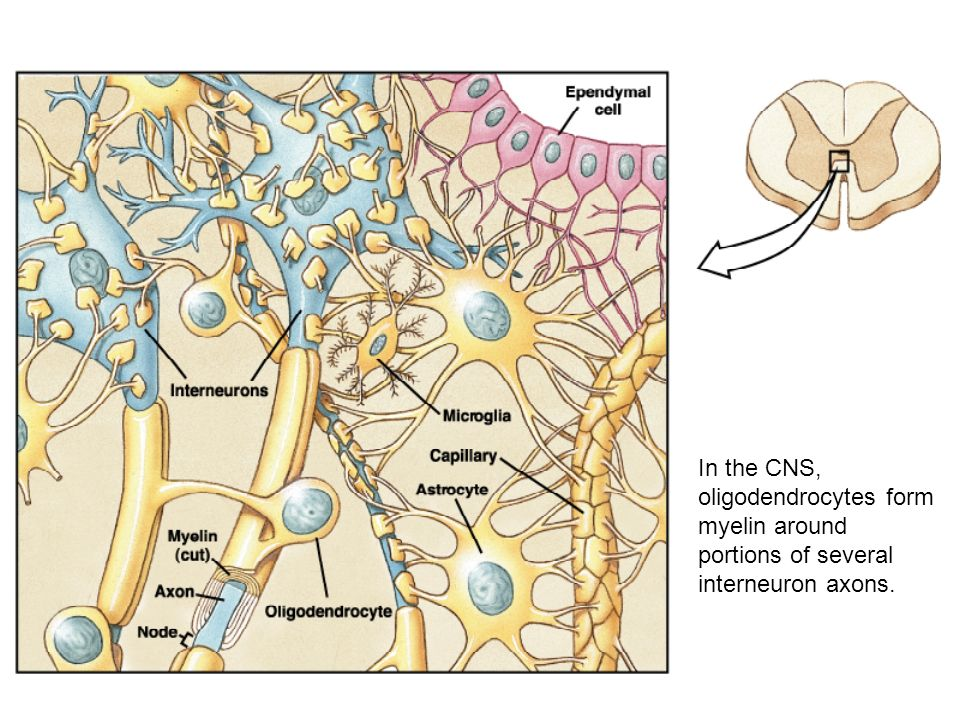 FUNCTIONAL ORGANIZATION OF THE NERVOUS SYSTEM - ppt video online ...