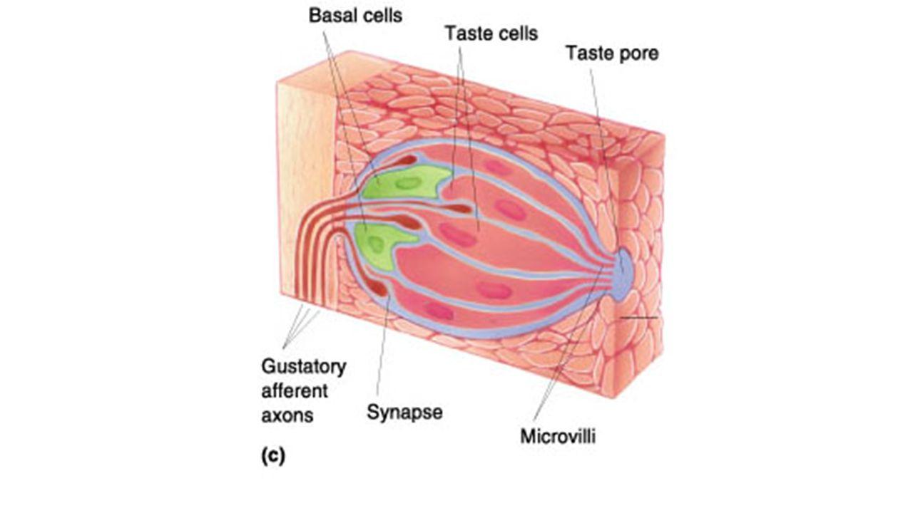 Taste bud anatomy