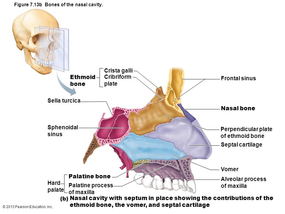 Figure the human skeleton ppt video online download for Floor of nasal cavity