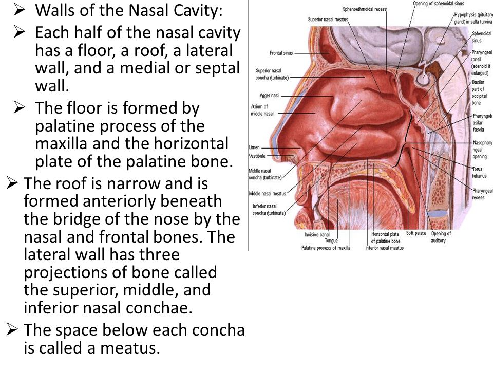 Objectives describe its different parts of the of the nose for Floor of nasal cavity