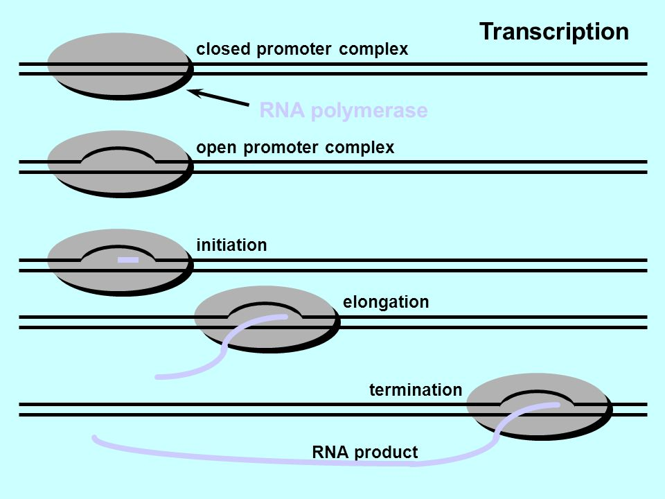 Transcription RNA polymerase closed promoter complex