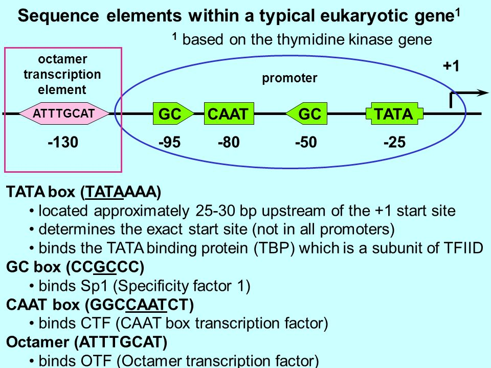 Sequence elements within a typical eukaryotic gene1