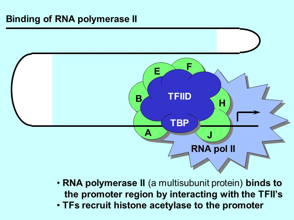Binding of RNA polymerase II