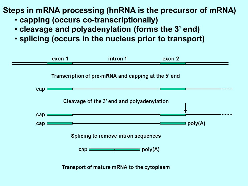 Steps in mRNA processing (hnRNA is the precursor of mRNA)