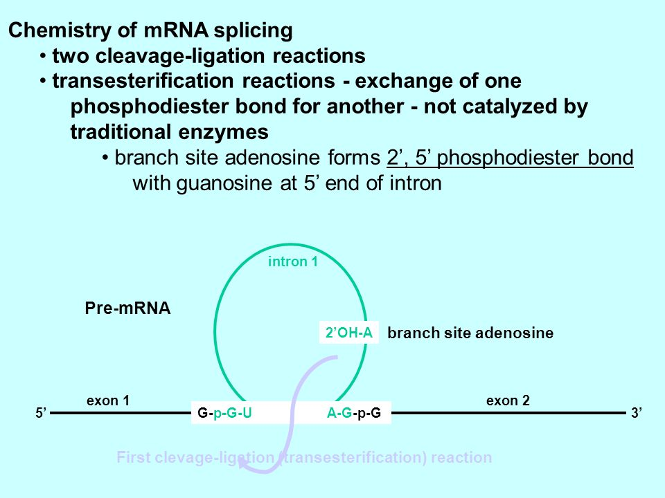 Chemistry of mRNA splicing two cleavage-ligation reactions