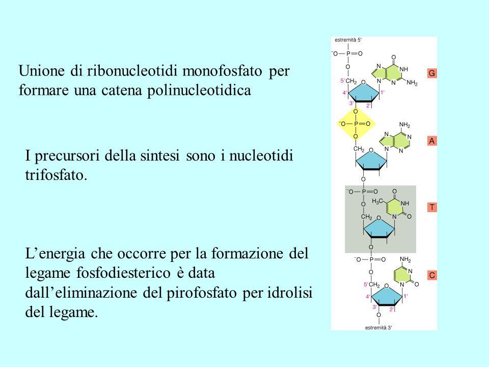 Unione di ribonucleotidi monofosfato per formare una catena polinucleotidica