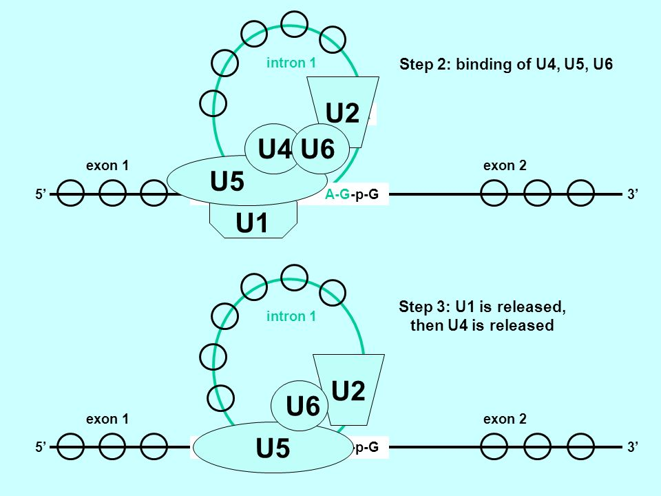 U2 U4 U6 U5 U1 U2 U6 U5 Step 2: binding of U4, U5, U6
