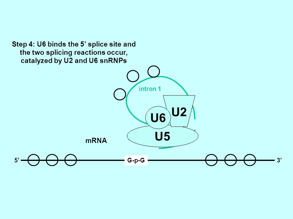 U2 U6 U5 Step 4: U6 binds the 5' splice site and