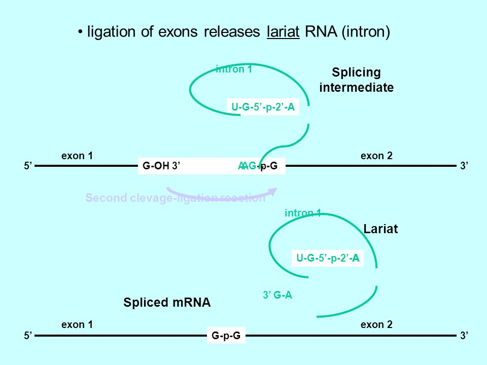 ligation of exons releases lariat RNA (intron)
