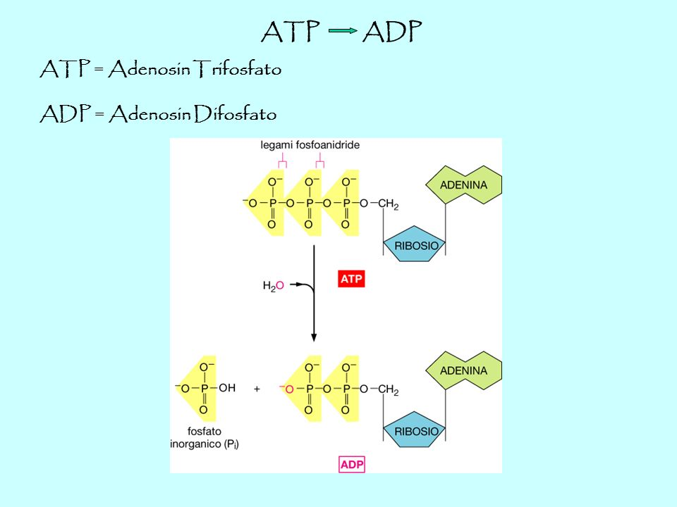 ATP ADP ATP = Adenosin Trifosfato ADP = Adenosin Difosfato