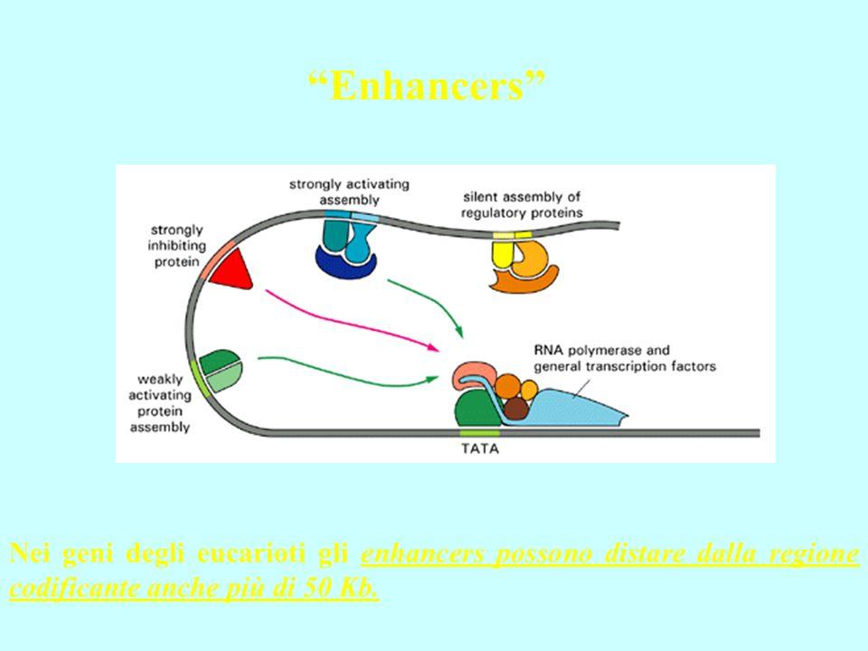 Enhancers Nei geni degli eucarioti gli enhancers possono distare dalla regione codificante anche più di 50 Kb.