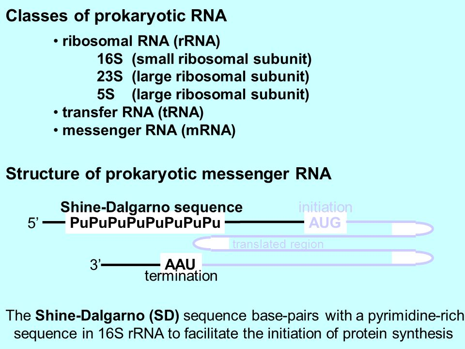 Classes of prokaryotic RNA