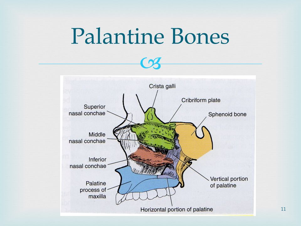 palatine bone - Yelom.myphonecompany.co