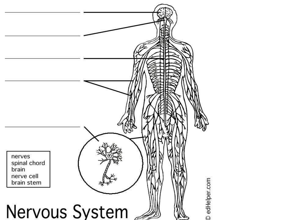 nervous system 6th grade health