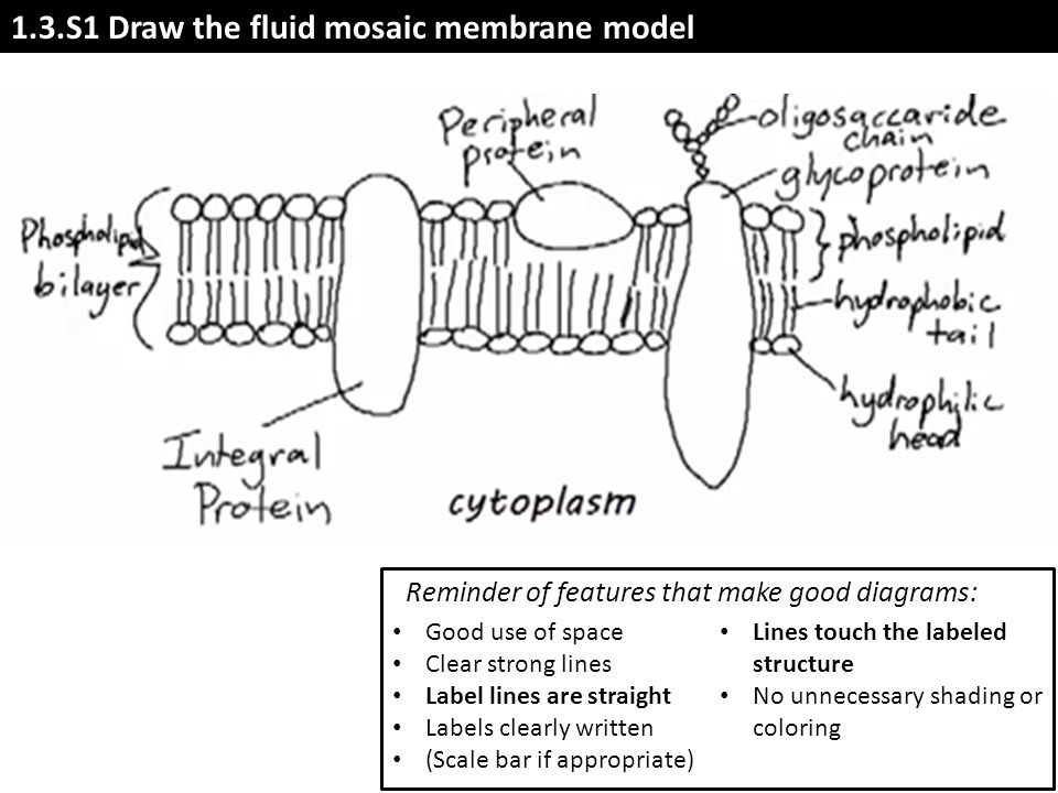 the fluid mosaic model of membrane structure The fluid mosaic model had its origins in an analysis of the equilibrium thermodynamics of membrane systems, which led to the suggestion that the integral proteins of membranes are amphipathic molecules this thermodynamic analysis continues to have considerable explanatory and predictive power for.