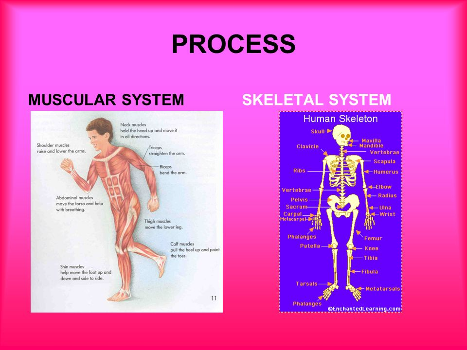 muscular and skeletal system The mesoderm forms nearly all the connective tissues of the musculoskeletal system each tissue (cartilage, bone, and muscle) goes through many different mechanisms of differentiation the musculoskeletal system consists of skeletal muscle, bone, and cartilage and is mainly mesoderm in origin with.