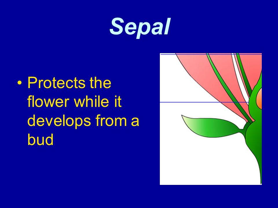 Sepal Protects the flower while it develops from a bud