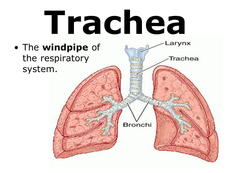 Trachea Windpipe Definition Anatomy Function Diagram - dinosauriens.info