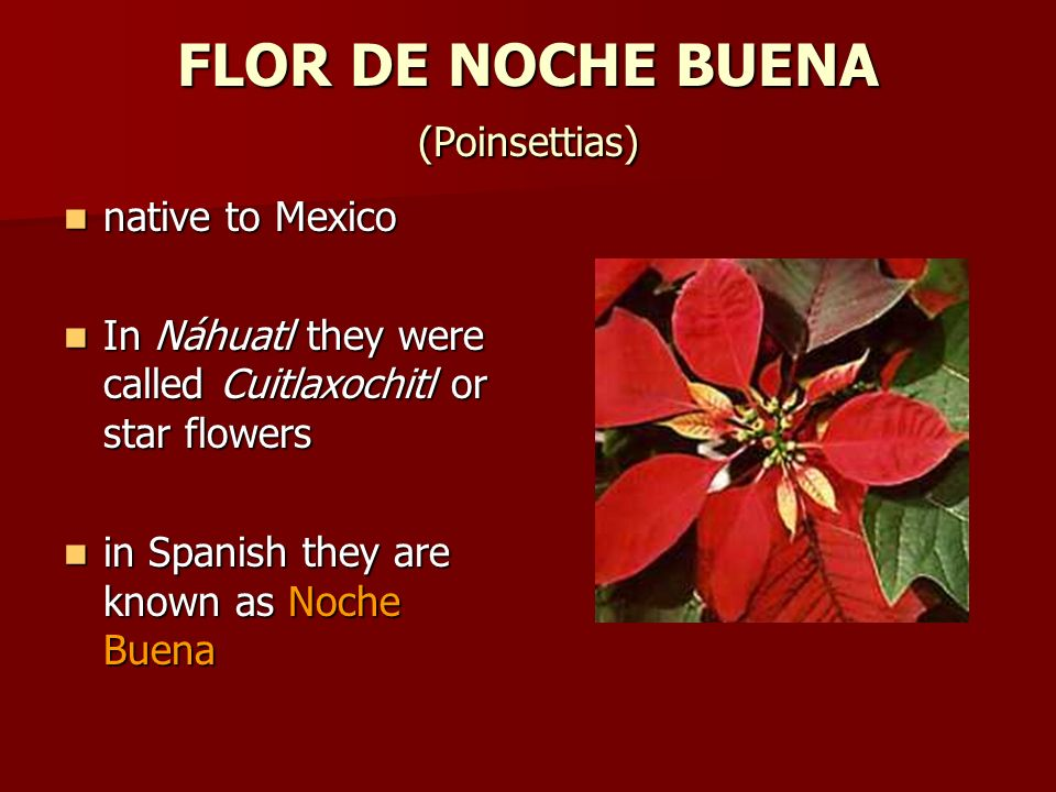 FLOR DE NOCHE BUENA (Poinsettias)