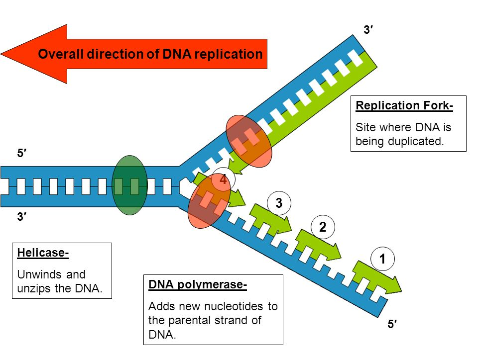 errors in dna replication Video: dna mismatch repair: correcting errors that happen during dna replication using mismatch repair, cells can correct errors that happen during dna replication.
