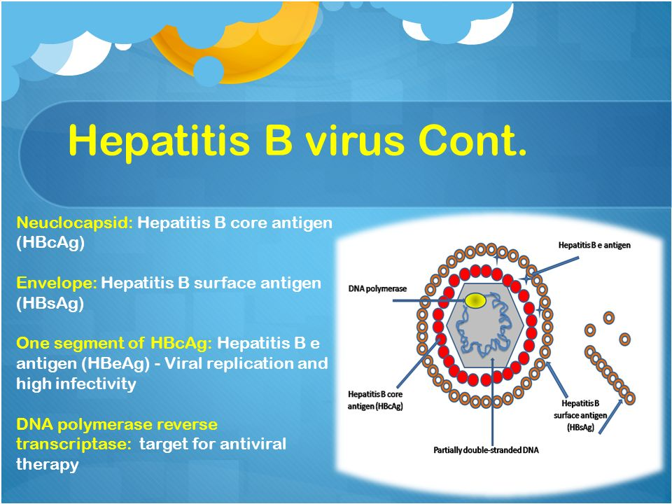 hepatitis b virus Hepadnaviruses (hepatitis b viruses) cause transient and chronic infections of the liver transient infections run a course of several months, and chronic infections are often lifelong chronic infections can lead to liver failure with cirrhosis and hepatocellular carcinoma the replication strategy.
