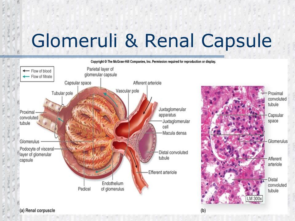 Renal Capsule Glomerulonephritis Dr ...