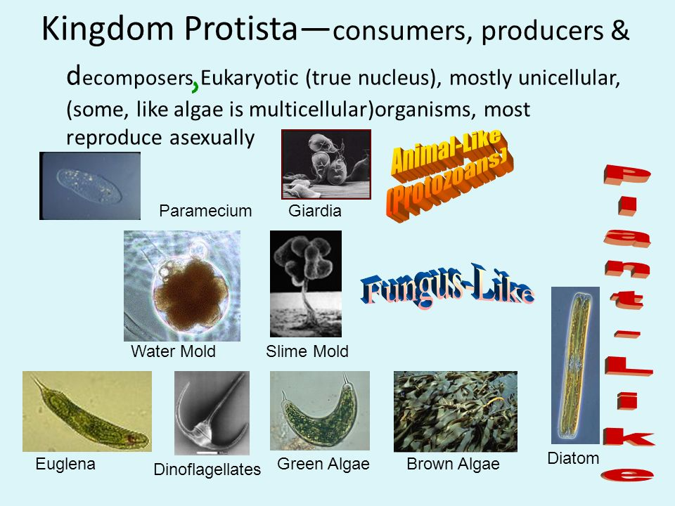 What Kingdom Makes Their Own Food Are Multicellular And Eukaryotic