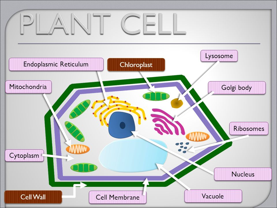 Cell Organelles 7.12D Differentiate between structure and ...