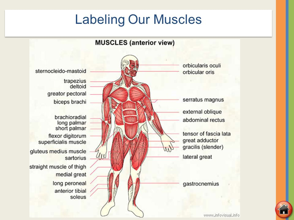 Muscular System Diagram No Labels Choice Image - human body anatomy