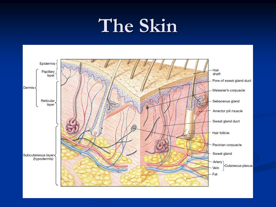 The Skin The Players In The Layers Ppt Video Online