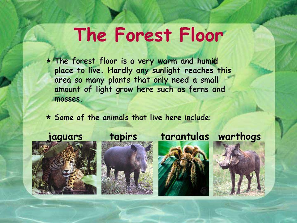 The Forest Floor Jaguars Tapirs Warthogs Tarantulas