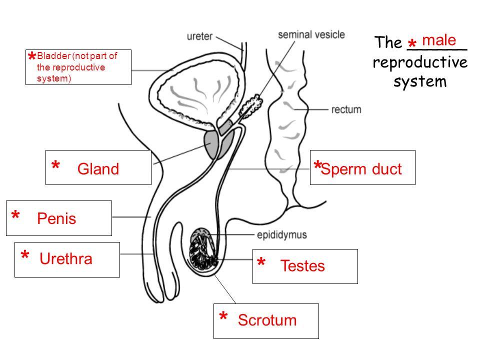 Worksheet - Female Reproductive System *EDITABLE* | TpT