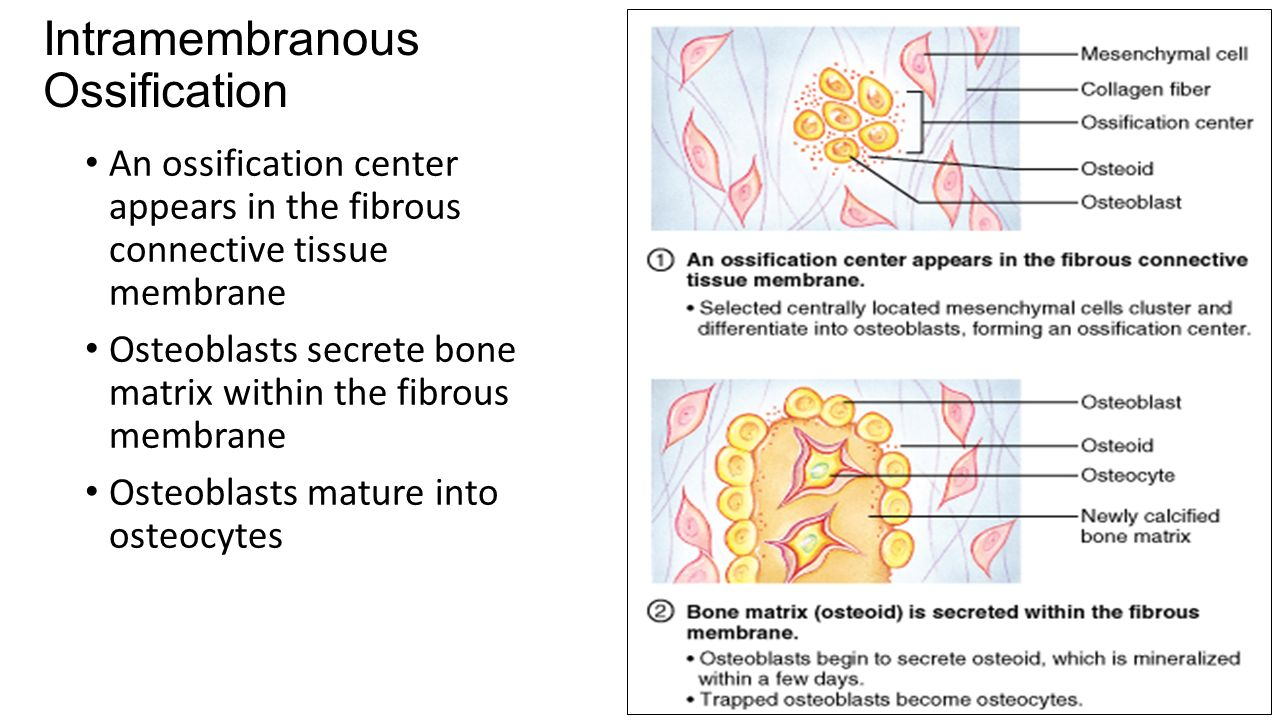 fibrous tissue Looking for online definition of fibrous connective tissue in the medical dictionary fibrous connective tissue explanation free what is fibrous connective tissue.