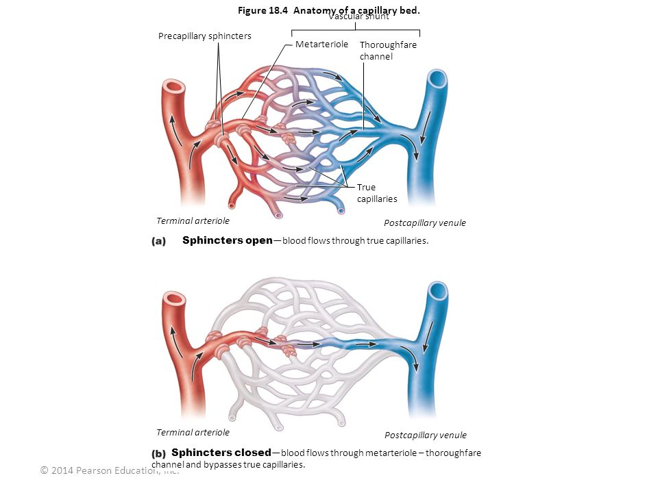 Figure 18.4 Anatomy of a capillary bed. - ppt video online download
