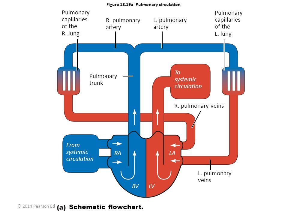 Figure 18.19a Pulmonary circulation.
