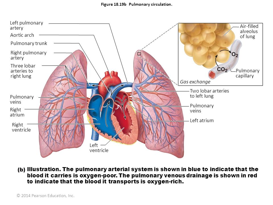 Figure 18.19b Pulmonary circulation.