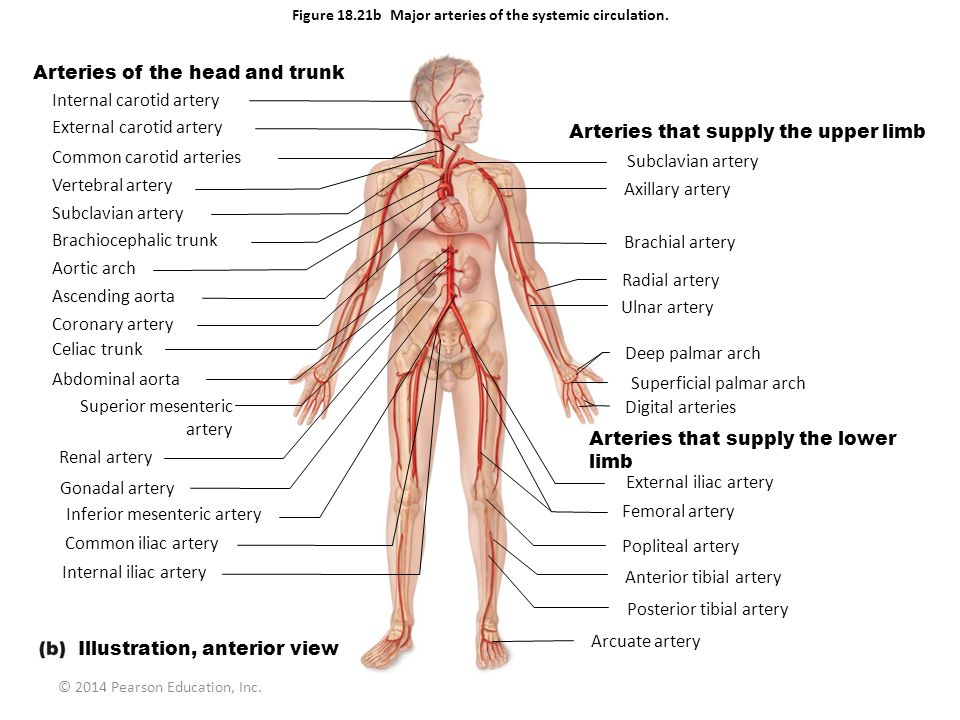 Figure 18.21b Major arteries of the systemic circulation.