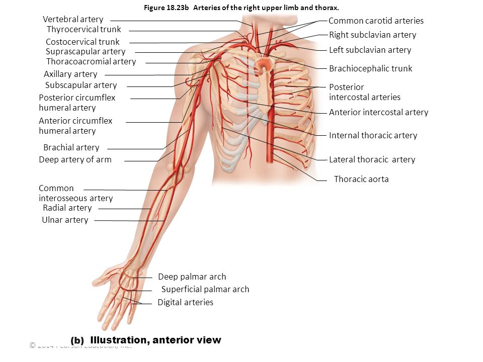 Figure 18.23b Arteries of the right upper limb and thorax.