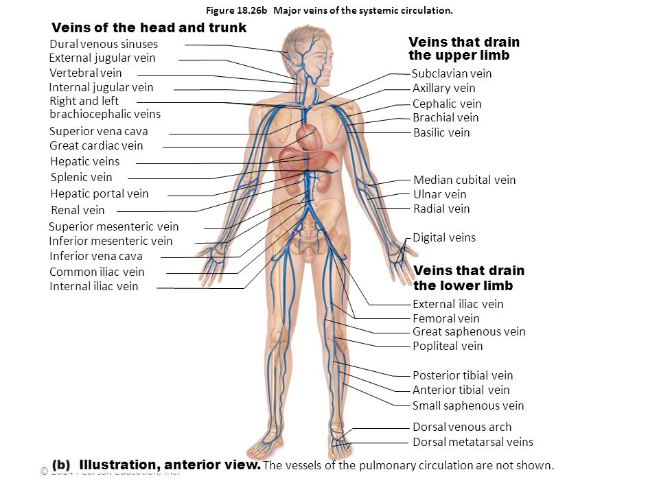 Figure 18.26b Major veins of the systemic circulation.